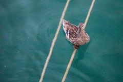 在绳索的一只鸭子 库存照片