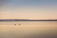 在水的两只天鹅 库存照片