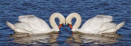 在水的两只天鹅 免版税图库摄影