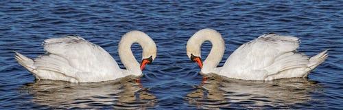在水的两只天鹅 免版税库存照片