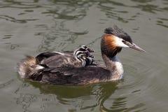在他的两只幼鸟  免版税库存照片