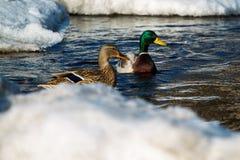 在水的两只野鸭鸭子 免版税库存照片