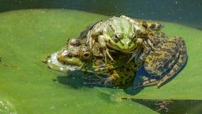 在水的两只青蛙,百合叶子 免版税图库摄影