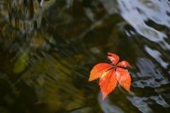 在水的五颜六色的叶子 免版税图库摄影