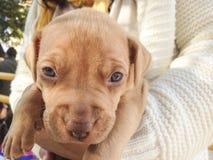 在他的交配动物者的胳膊的小狗 免版税库存图片