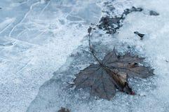 在冻结的冰地面的下落的老枫叶 免版税图库摄影