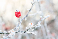 在冻结的分支的红色莓果盖了wi 免版税库存照片