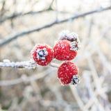 在冻结的分支的红色莓果 库存照片