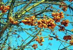 在冻结的分支的花楸浆果反对蓝色冬天天空 库存图片