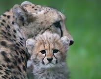在他的前面的猎豹崽母亲02 免版税库存图片