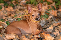 在死的叶子的微型短毛猎犬谎言 免版税库存图片