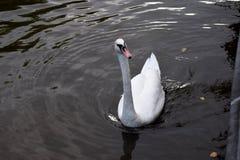 在水的天鹅在阿姆斯特丹 库存图片