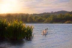 在水的天鹅由狂放的黄色虹膜 免版税图库摄影