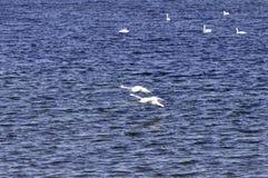 在水的天鹅着陆 免版税库存图片
