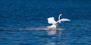 在水的天鹅着陆 库存图片
