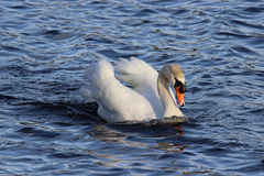 在水的天鹅 免版税库存照片