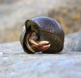 在贝类的寄居蟹 免版税图库摄影