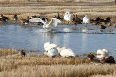 在水的寒带苔原天鹅着陆 免版税库存照片