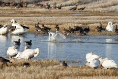 在水的寒带苔原天鹅着陆 图库摄影