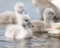 在水的小天鹅游泳在他们的父母后 库存照片