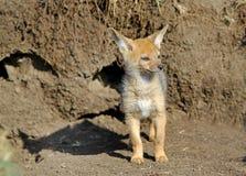 在他的小室之外的一只被隔绝的狐狼小狗 免版税库存图片