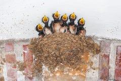 在他们的巢的六燕子刚孵出的雏要求食物 免版税库存图片