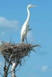 在他的巢的白色纱在Isla de los Pajaros 免版税库存照片