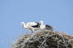 在他们的巢的白色鹳夫妇 免版税图库摄影