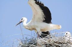 在他们的巢的白色鹳夫妇 库存照片