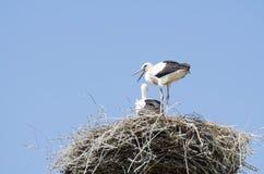 在他们的巢的白色鹳夫妇 库存图片