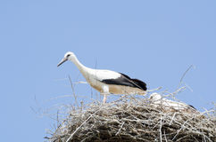 在他们的巢的白色鹳夫妇 免版税库存图片