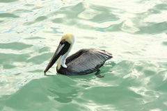 在水3的布朗鹈鹕 库存图片