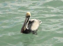 在水4的布朗鹈鹕 免版税库存图片