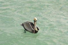 在水6的布朗鹈鹕 免版税库存图片