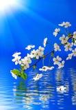 在水的开花的分支在蓝色背景 免版税库存图片