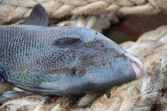 在绳索的引金鱼 免版税库存图片