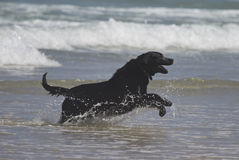在水的愉快的狗 库存图片