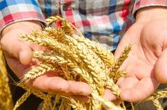 在他的成熟金黄麦子耳朵递方格的衬衣的农夫 免版税图库摄影