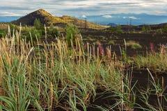 在死的木头-灰灾难发行的后果的年轻草在火山的爆发时1975年扎尔巴奇克火山 免版税图库摄影