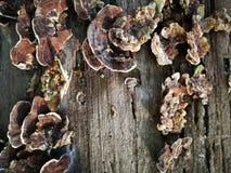 在死的木头的真菌 免版税库存图片