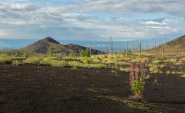 在死的木头的Chamerion angustifolium -灰灾难发行的后果在火山的爆发时 库存照片