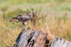 在死的树栖息的红被盯梢的鹰 库存照片