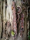 在死的树的寄生生物 库存图片