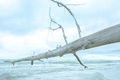 在死的树的白色陶瓷鸽子 库存图片