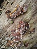 在死的树的真菌 库存图片