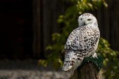 在他的栖息处的斯诺伊猫头鹰 免版税图库摄影