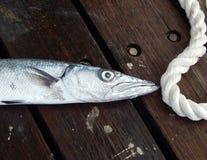 在绳索的梭子鱼 库存照片
