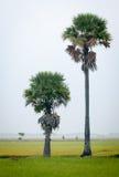 在水稻的棕榈树在越南南方调遣 免版税库存图片