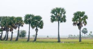 在水稻的棕榈树在越南南方调遣 图库摄影