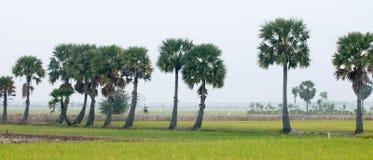 在水稻的棕榈树在越南南方调遣 库存照片